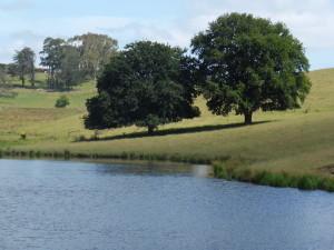 oak trees and dam at Oak and Swan